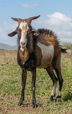 jaquette_goat_simulator
